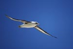 Fliegender Laysan-Albatros