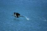 Startender Laysan-Albatros auf dem Meer