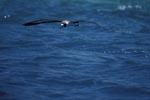Fliegender Laysan-Albatros über dem Meer