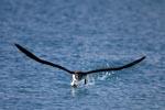 Laysan-Albatros in der kritischen Startphase
