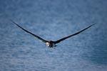 Laysan-Albatros ueber dem Meer