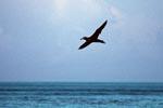 Fliegender Schwarzfuß-Albatros ueber dem Meer