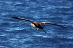 Fliegender Schwarzfuß-Albatros über dem Meer