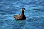 Schwarzfuß-Albatros auf dem Meer