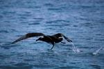 Startender Schwarzfuß-Albatros auf dem Meer