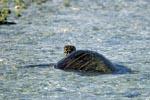 Gruene Meeresschildkroete im flachen Wasser