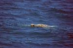 Gruene Meeresschildkroete an der Wasseroberflaeche