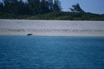 Hawaiianische Mönchsrobbe am Sandstrand