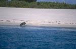 Hawaiianische Mönchsrobbe am Strand