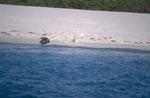 Hawaiianische Moenchsrobbe kehrt ins Wasser zurueck