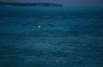 Fliegender Laysan-Albatros ueber einer Midway Lagune