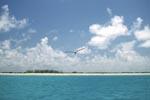 Rußseeschwalbe fliegt über Midway Lagune