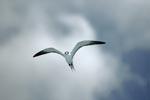 Rußseeschwalbe vor weißen Wolken