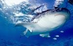Ausgesprochen eindrucksvoll: Die Unterseite des Tigerhais