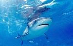 Tigerhai (Galeocerdo cuvier) an der Grenze zum tiefen Wasser