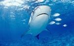 Tigerhai (Galeocerdo cuvier) und kleine Fische