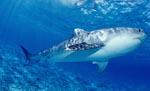 Tigerhai auf der Jagd nach jungen Albatrossen