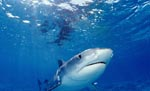 Eindrucksvoll und faszinierend: Der Tigerhai