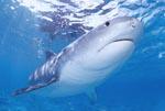 Außergewoehnlich und faszinierend: Der Tigerhai