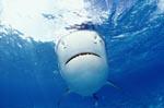 Ganz in weiß: Tigerhai Unterseite