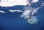Weißer Hai beißt zu