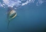 Weißer Hai auf der Suche nach Beute