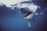 Weißer Hai (Carcharodon carcharias) auf Konfrontationskurs. Der bedrohlich wirkende Hai kommt direkt auf die Kamera zu. (00010297)