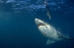 Weißer Hai vor dem Unterwasserköder