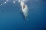 Weißer Hai steigt vertikal auf