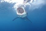 Tiefer Einblick in den Rachen des Weißen Hais