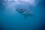 Alles an ihm ist schön, elegant, faszinierend: Der Weiße Hai