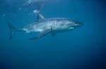 Unterwasserjäger Weißer Hai