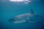 Weißer Hai jagt wenige Meter unter der Meeresoberfläche
