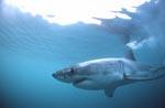 Faszinierendes Geschöpf der Meere: Der Weiße Hai