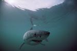 Oberflaechenjaeger Weißer Hai