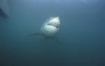 Weißer Hai Unterwasserportraet