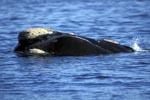 Südlicher Glatwal mit Schwielen am Kopf