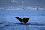Fluke des Südlichen Glatwals