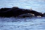 Südlicher Glatwal aus der Nähe