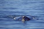 Suedlicher Glatwal an der Wasseroberflaeche