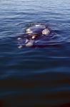 Faszinierender Südlicher Glatwal