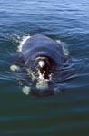 Südlicher Glatwal frontal