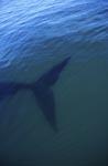 Fluke des Südlichen Glatwals unter Wasser