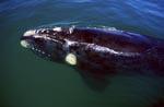 Südlicher Glatwal an der Küste von Gansbaai