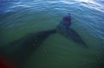 Beeindruckende Fluke des Südlichen Glatwals
