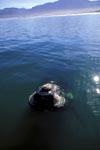 Vor unserem Boot taucht ein Südlicher Glatwal auf