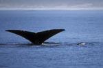 Fluke des Südlichen Glatwals über Wasser