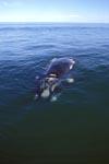 Südlicher Glatwal in der Walker Bay