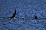 Flossen des Suedlichen Glatwals an der Wasseroberflaeche