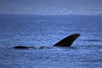 Flossen des Südlichen Glatwals an der Wasseroberfläche